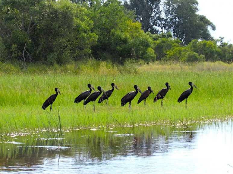 African openbill edited